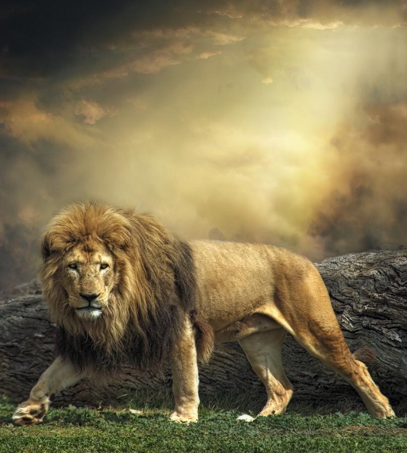 صوره صور اسود , اروع ما صور للاسد ملك الغابة