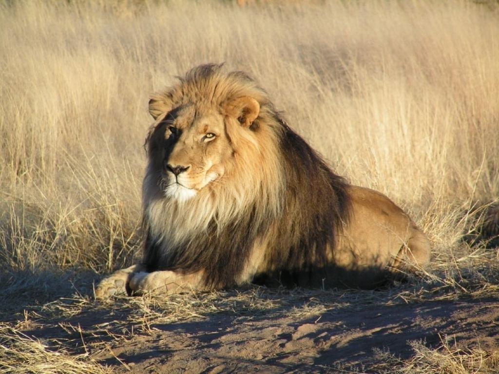 بالصور صور اسود , اروع ما صور للاسد ملك الغابة 637 2