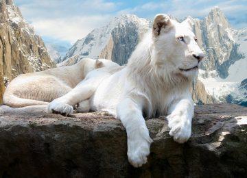 بالصور صور اسود , اروع ما صور للاسد ملك الغابة 637 5