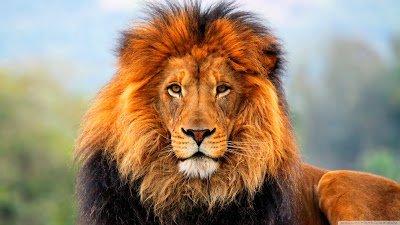 بالصور صور اسود , اروع ما صور للاسد ملك الغابة 637 8