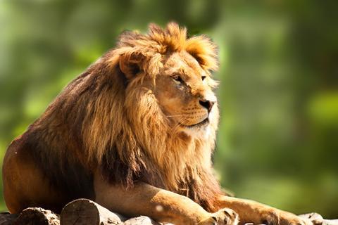 بالصور صور اسود , اروع ما صور للاسد ملك الغابة 637 9