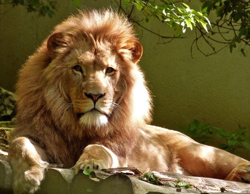 بالصور صور اسود , اروع ما صور للاسد ملك الغابة