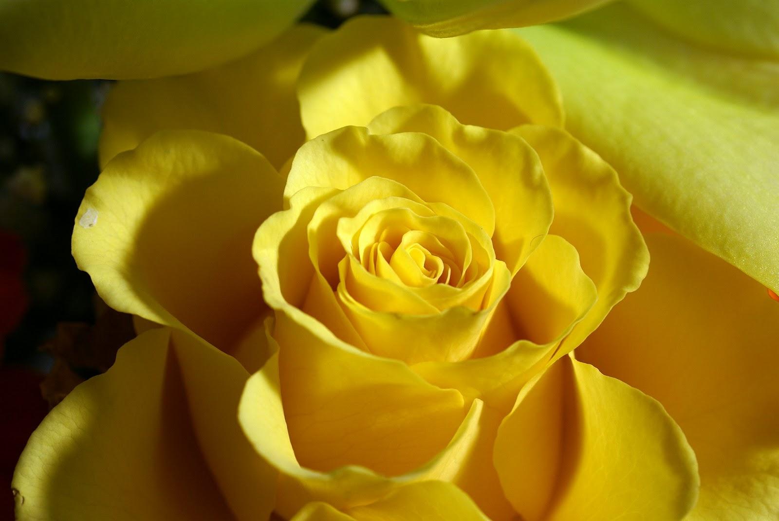 بالصور صور اجمل ورد , صور وقت تزهير الورد رائعة 3224 10