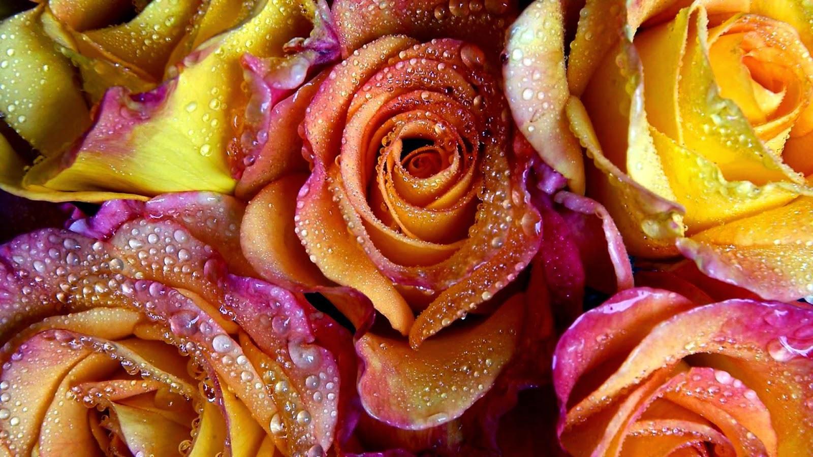 بالصور صور اجمل ورد , صور وقت تزهير الورد رائعة 3224 14