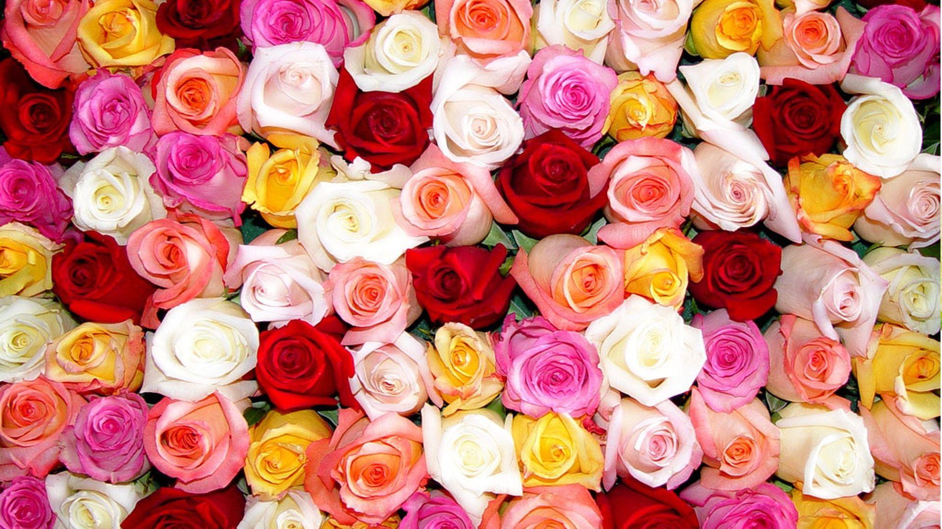 بالصور صور اجمل ورد , صور وقت تزهير الورد رائعة 3224 15