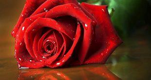 صور صور اجمل ورد , صور وقت تزهير الورد رائعة