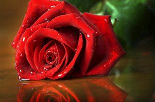 صوره صور اجمل ورد , صور وقت تزهير الورد رائعة
