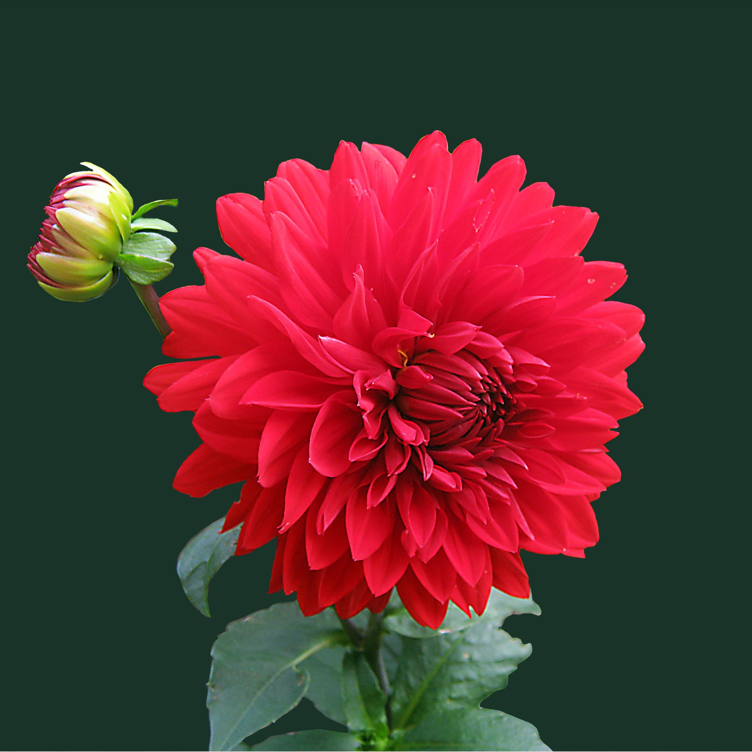 بالصور صور اجمل ورد , صور وقت تزهير الورد رائعة 3224 2
