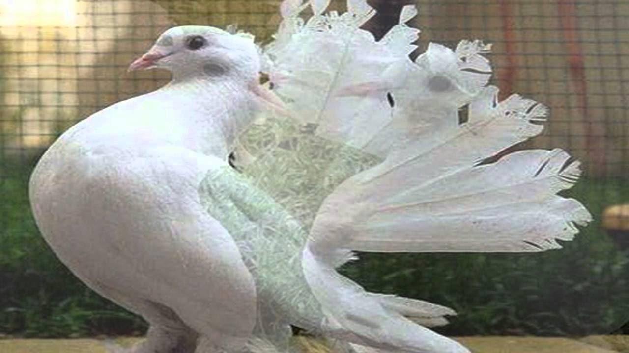 بالصور حمام هزاز , اكثر انواع الحمام جمالا غير كل الطيور الاخرى 3268 11