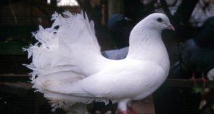 صورة حمام هزاز , اكثر انواع الحمام جمالا غير كل الطيور الاخرى