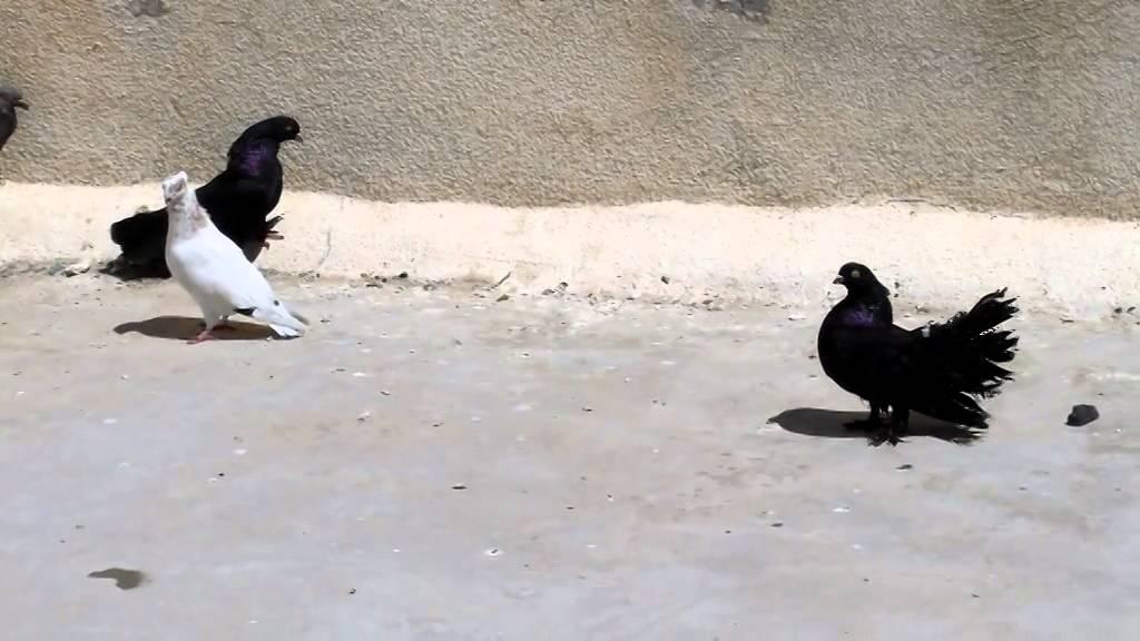 بالصور حمام هزاز , اكثر انواع الحمام جمالا غير كل الطيور الاخرى 3268 2