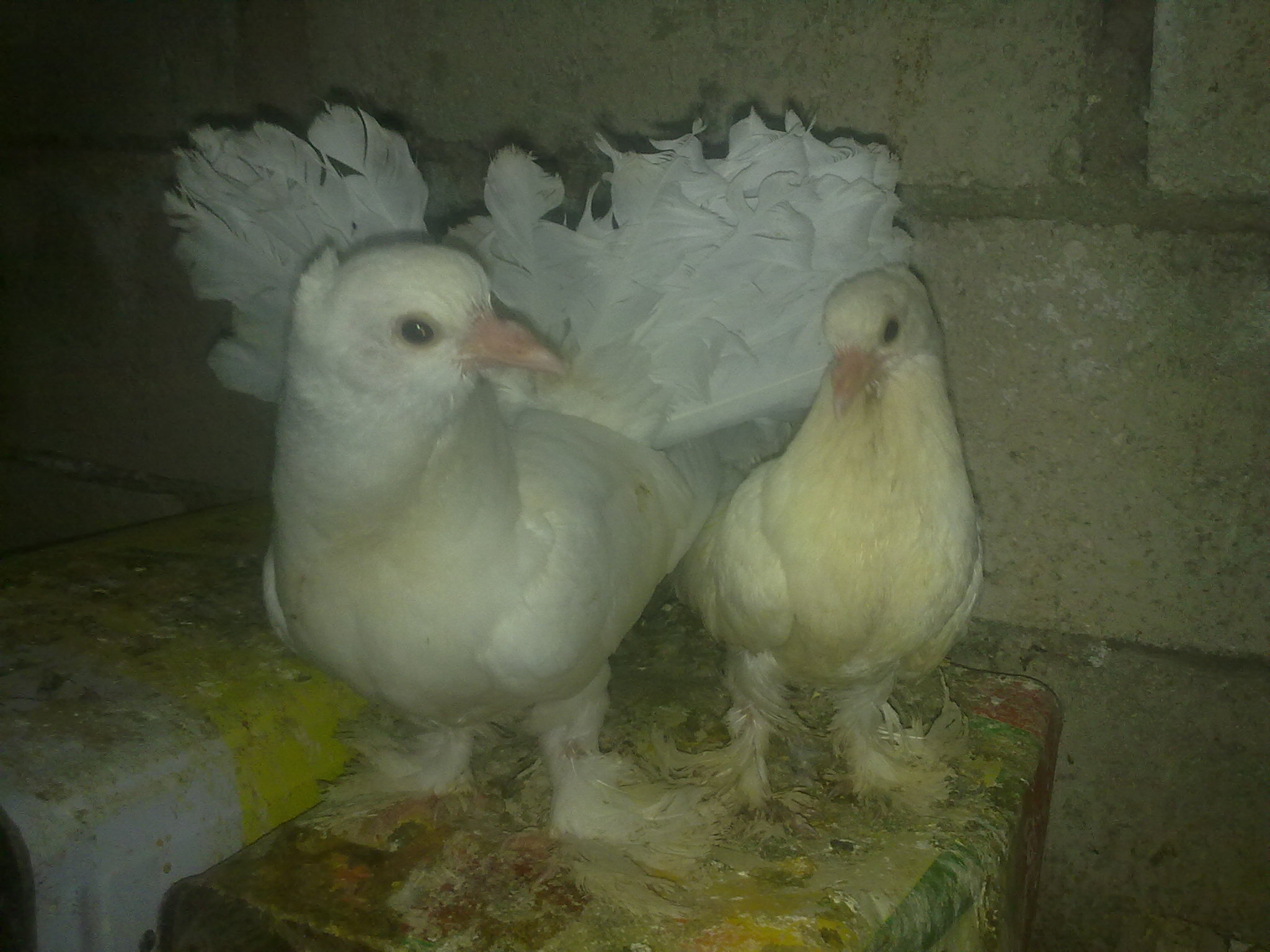 بالصور حمام هزاز , اكثر انواع الحمام جمالا غير كل الطيور الاخرى 3268 4