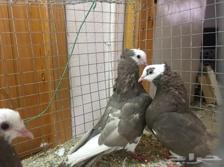 بالصور حمام هزاز , اكثر انواع الحمام جمالا غير كل الطيور الاخرى 3268 5