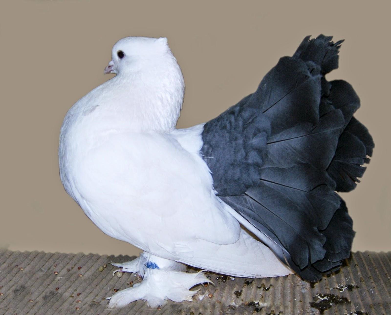 بالصور حمام هزاز , اكثر انواع الحمام جمالا غير كل الطيور الاخرى 3268 7