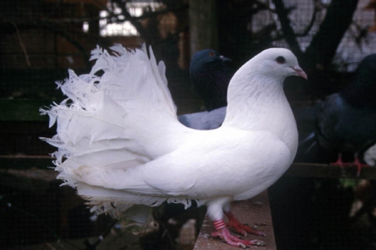 صوره حمام هزاز , اكثر انواع الحمام جمالا غير كل الطيور الاخرى