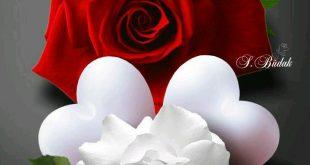 صوره صور ورد حب , الورد وتعبيره عن المحبة والرومانسية بين العشاق