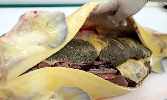 صور سمك الكافيار بالصور , خلفيات انواع اسماك الكافيار