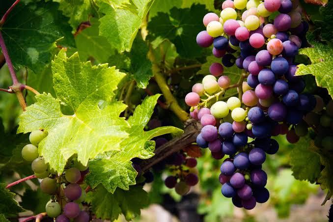 صورة فوائد العنب , اهميه تناول العنب لجسم الانسان 2786 2