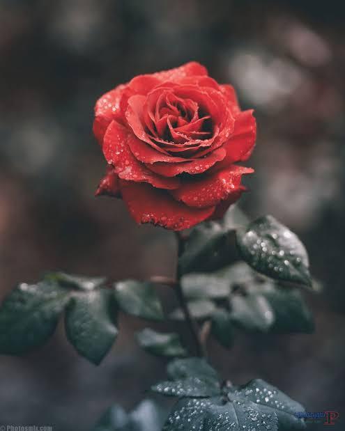 صورة صور ورد جميل , الى عشاق الورود الرومانسيه تعالو اتفرجو