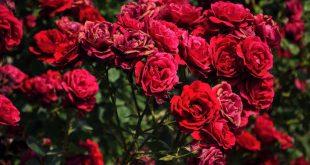 صور ورد جميل , الى عشاق الورود الرومانسيه تعالو اتفرجو