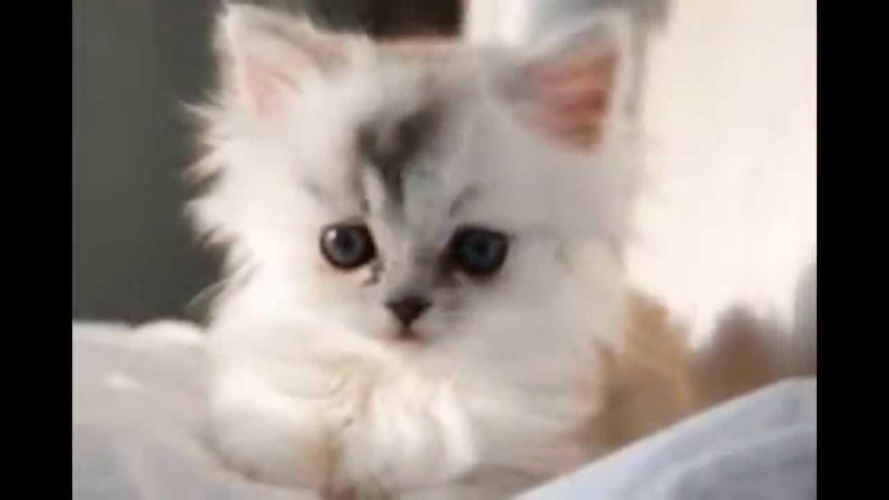 صورة صور قطط شيرازي , من اجمل انواع القطط الشيرازي كيوت قوي 3636 1