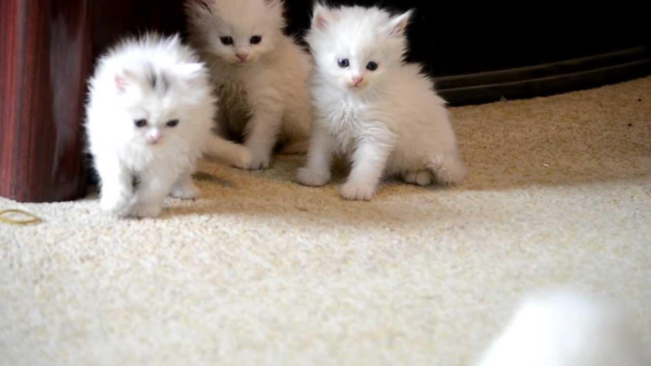 صورة صور قطط شيرازي , من اجمل انواع القطط الشيرازي كيوت قوي 3636 2