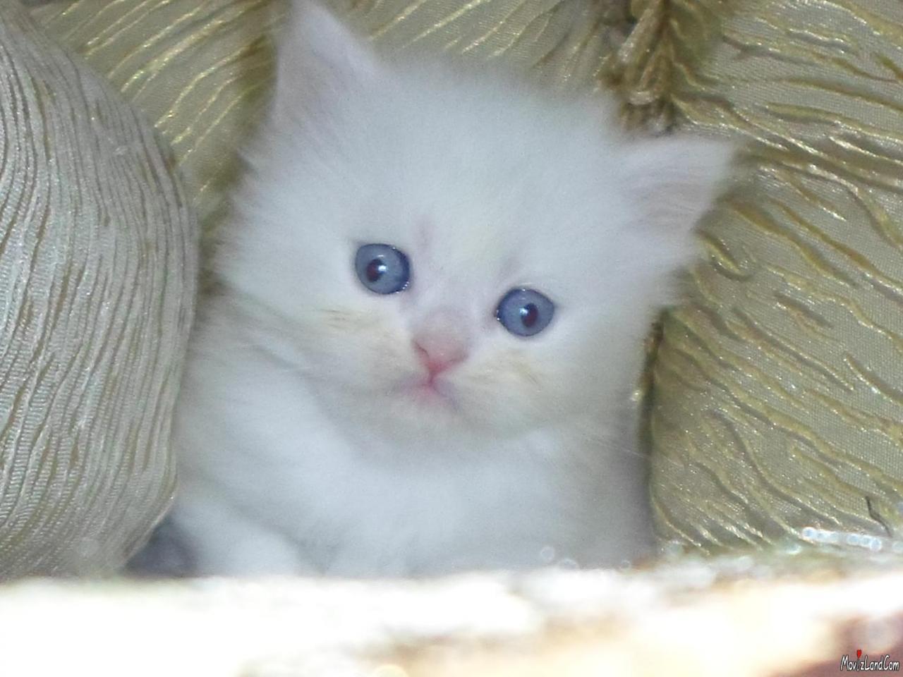 صورة صور قطط شيرازي , من اجمل انواع القطط الشيرازي كيوت قوي 3636 3