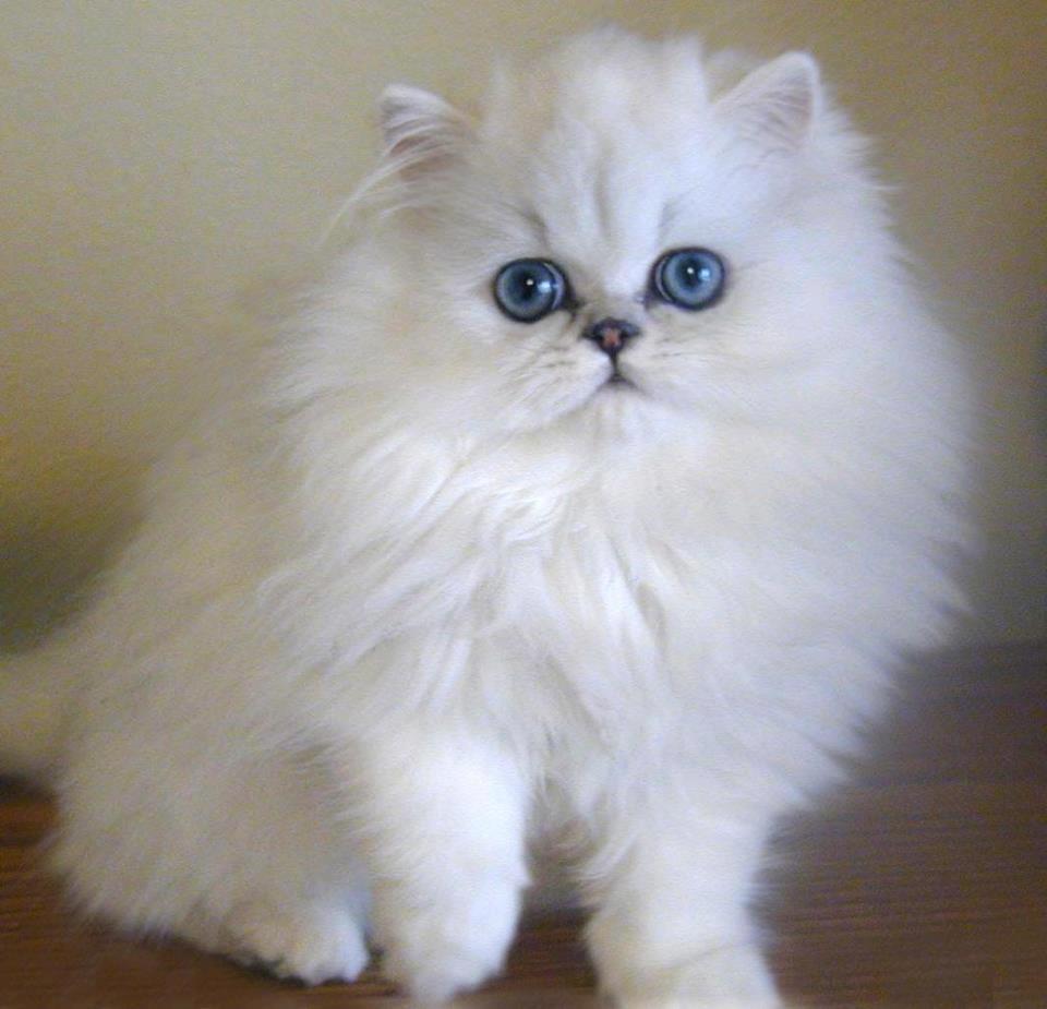 صورة صور قطط شيرازي , من اجمل انواع القطط الشيرازي كيوت قوي 3636 4