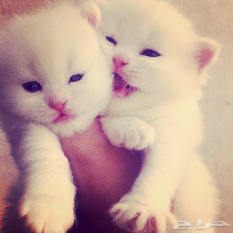 صورة صور قطط شيرازي , من اجمل انواع القطط الشيرازي كيوت قوي 3636 5