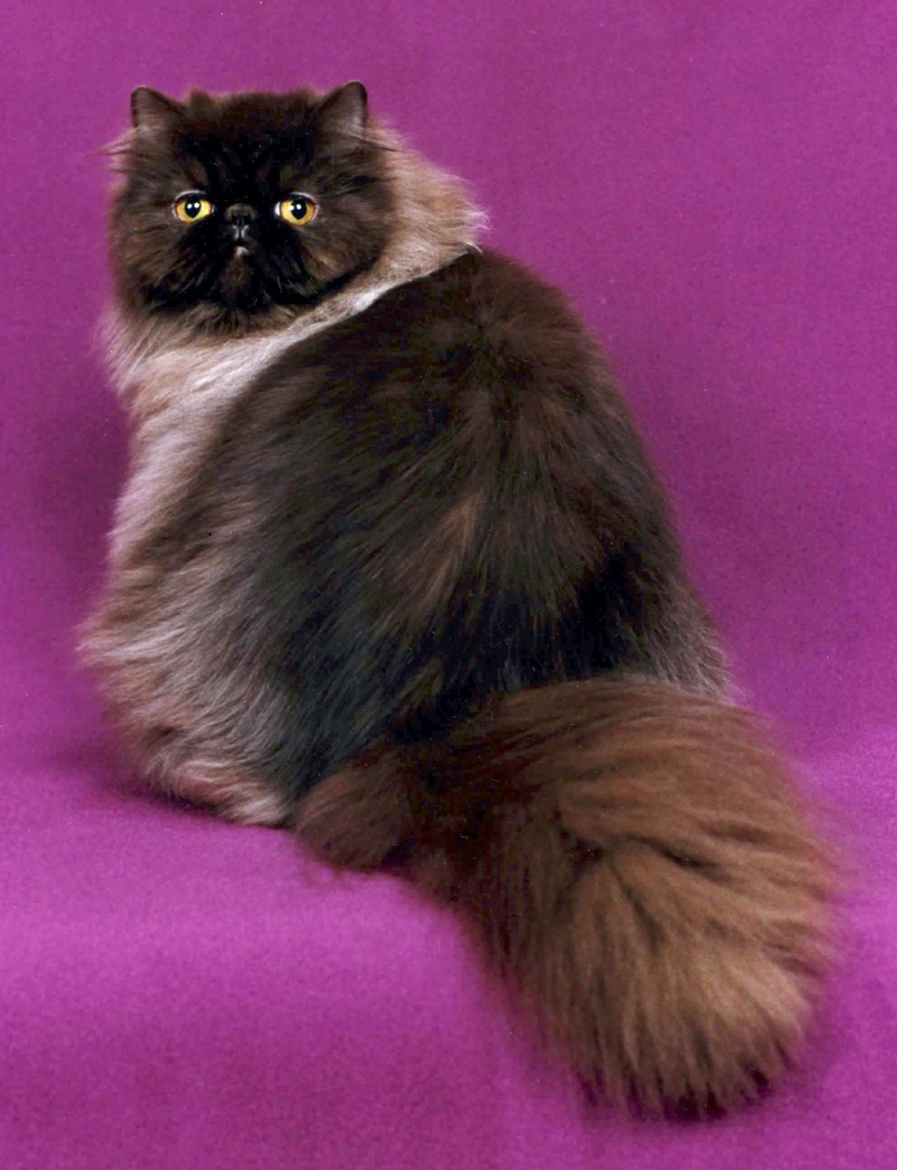 صورة صور قطط شيرازي , من اجمل انواع القطط الشيرازي كيوت قوي 3636 6
