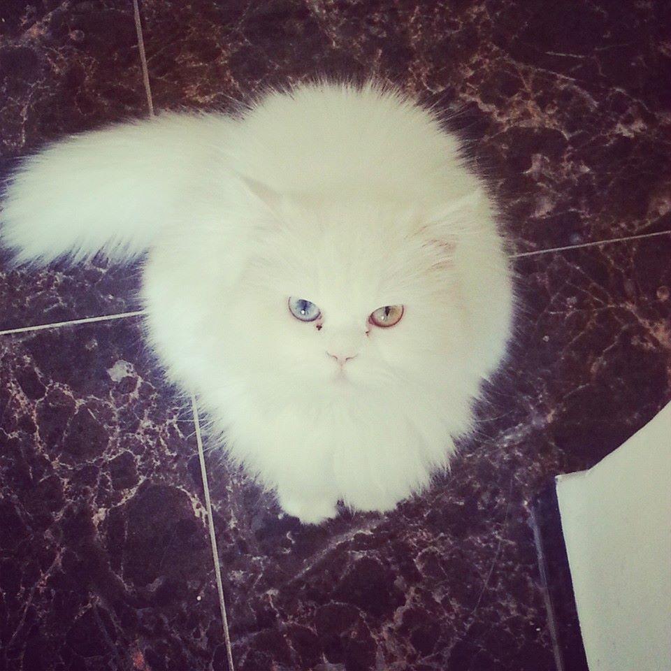 صورة صور قطط شيرازي , من اجمل انواع القطط الشيرازي كيوت قوي 3636 7