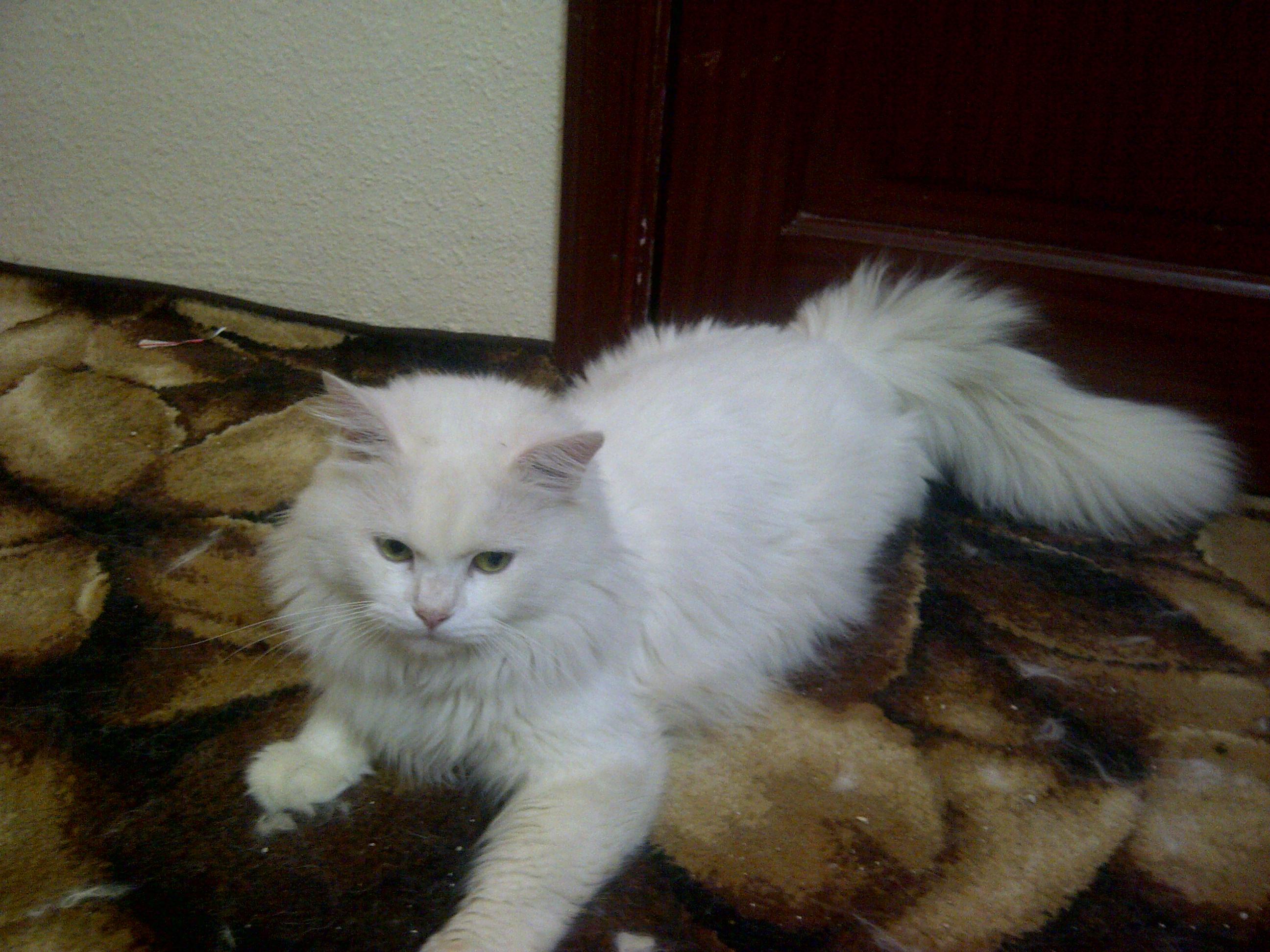 صورة صور قطط شيرازي , من اجمل انواع القطط الشيرازي كيوت قوي 3636 8