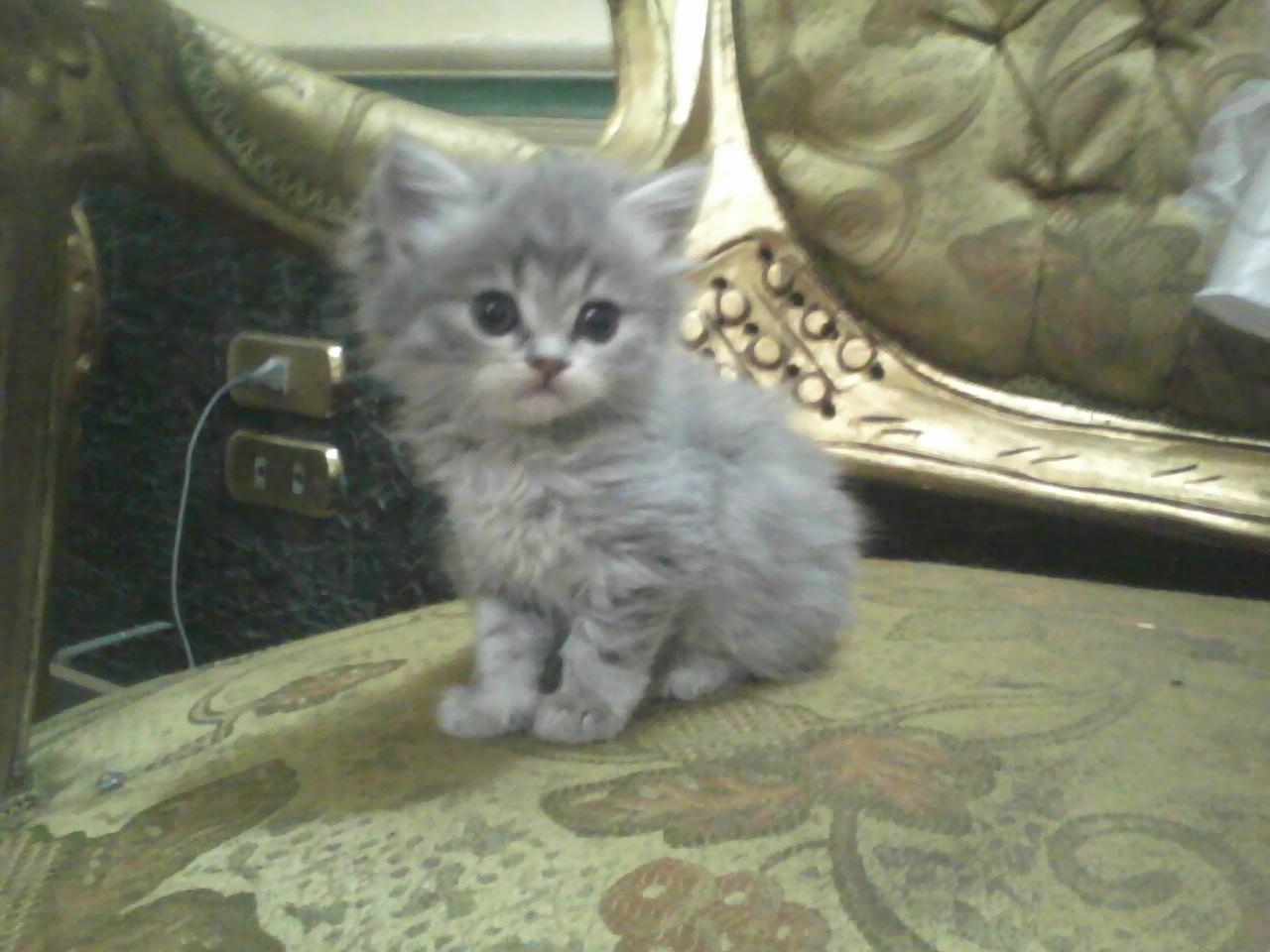 صورة صور قطط شيرازي , من اجمل انواع القطط الشيرازي كيوت قوي 3636