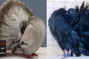 صورة حمام زينه , سبحان الله اجمل طيور تنفع لتحلي بيها حياتك