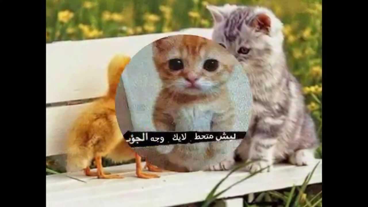 صورة صور قطط مضحكة , الى كل محبى القطط اليكم هذه اللقطات 1424 6