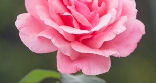 صورة ابعت لحبيبك صورة ورده تعبر عن حبك , صور الورد